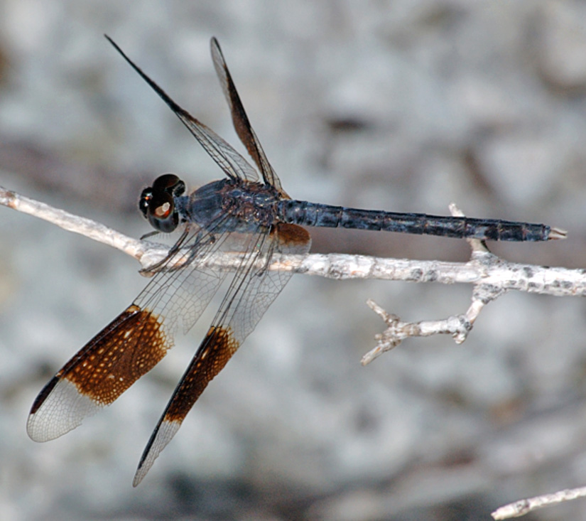 Erythrodiplax umbrata male