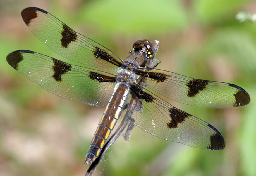 Migratory Dragonflies » MDP - Identification Guides